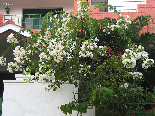 A house with white flowers