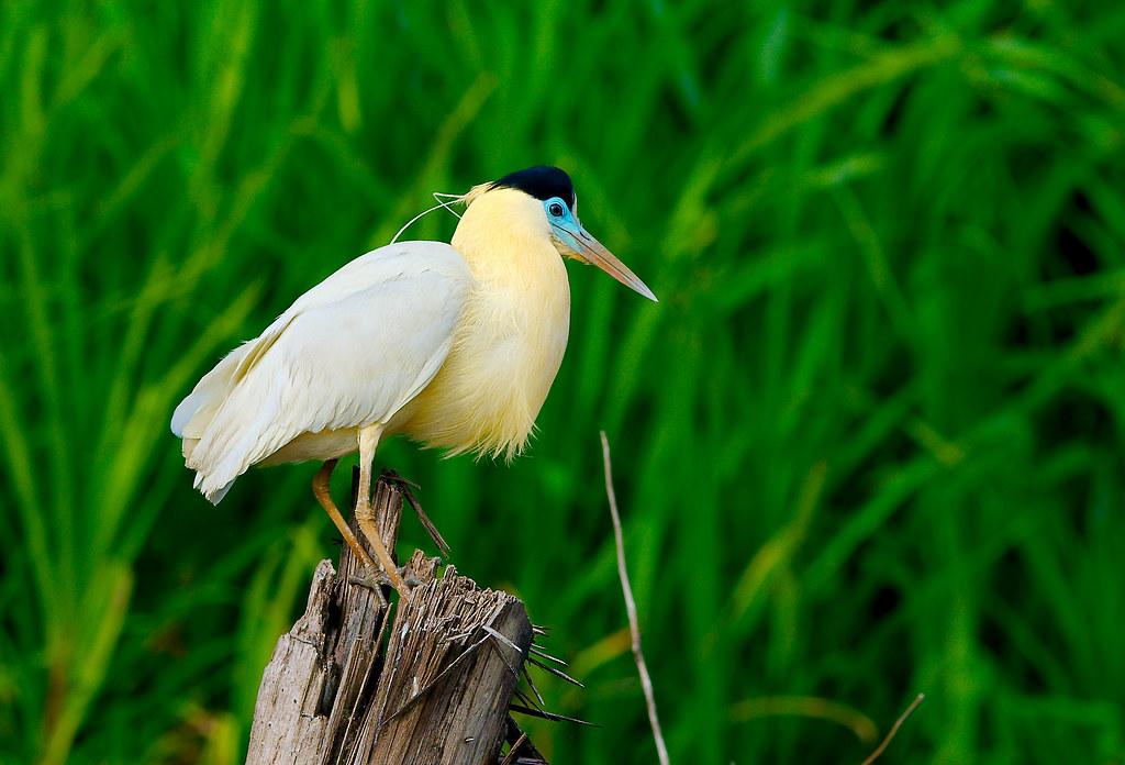 Capped Heron (Pilherodius pileatus)_3