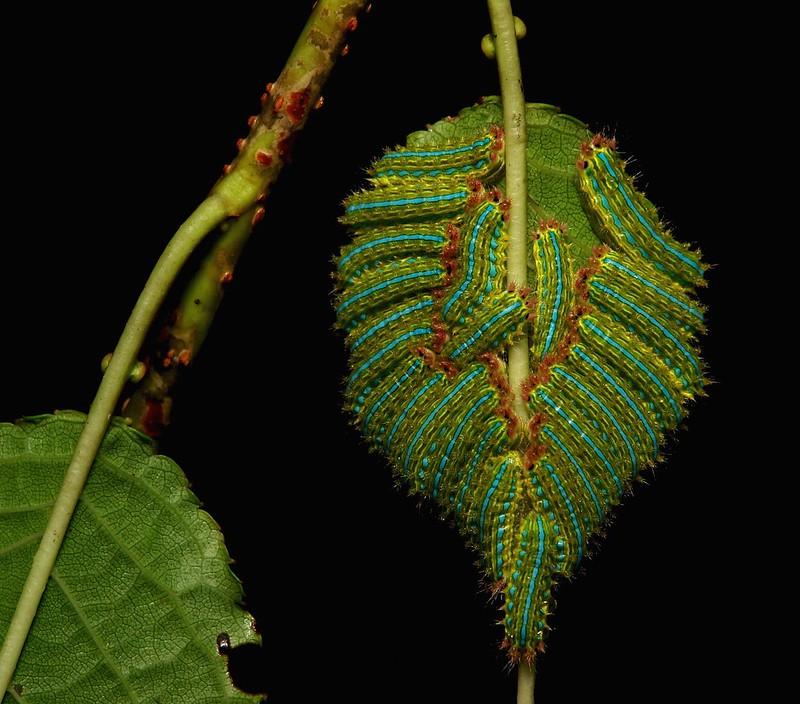 "Early- to Mid-instar Stinging Nettle Slug Caterpillars (Cup Moth, Limacodidae) ""Triple Streak"""