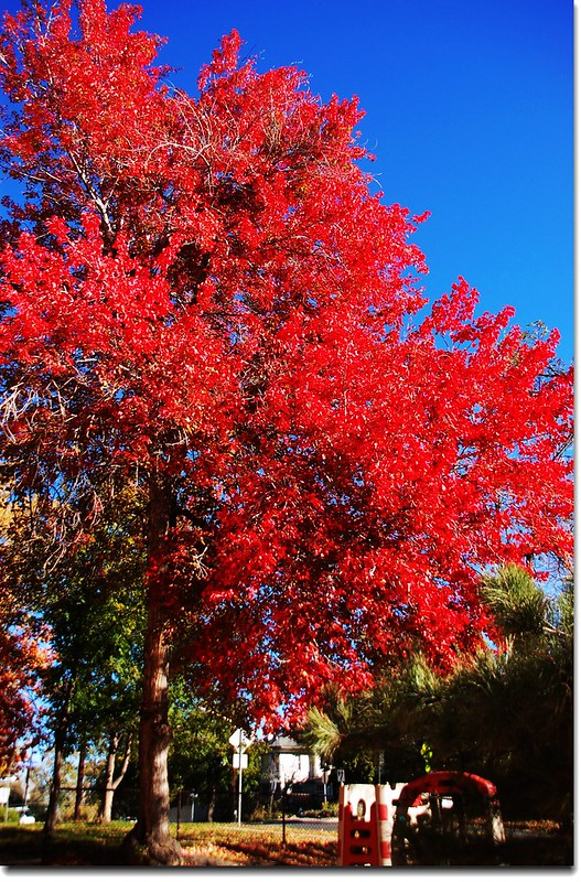 Red Maple in Mapleton, Boulder 13