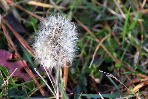 IMG_6914_Ouabache_Dandelion_in_December