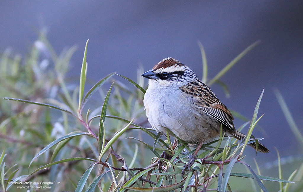 Striped-Sparrow-CBC-20159480