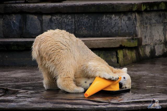 Eisbär Fiete im Zoo Rostock 13.12.2015  205