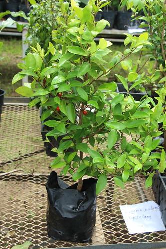 rota eugenia eugeniapalumbis myrtaceae