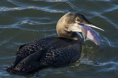 Great Northern Diver - The Swallow