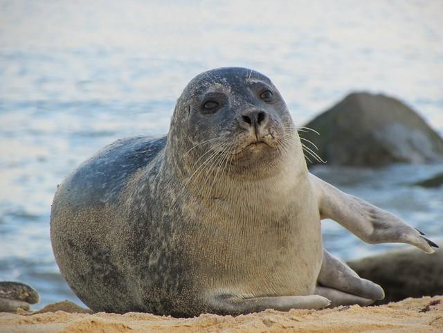 Harbour Seal, Canon POWERSHOT SX500 IS