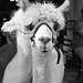 Goofy Alpaca - MN State Fair. August 2015  L_M6_11330 by erlin1