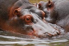 Hippopotamus amphibius DT [ES Zoo Madrid] (7)