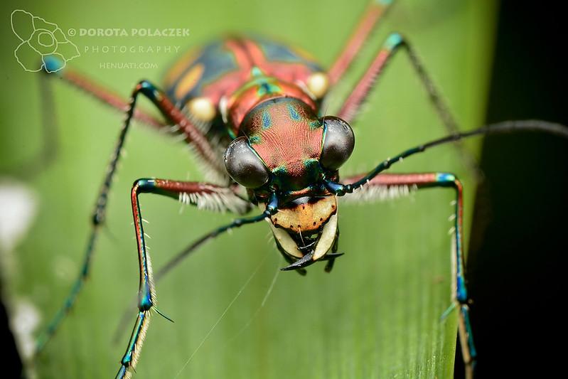 Golden-spotted tiger beetle (Cicindela aurulenta)