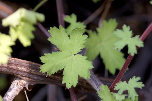 Pelargonium antidysentericum, leaf