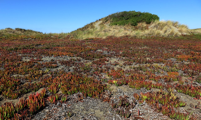 Ice plants, vegetation on the dunes of Ocean Beach, San Francisco (2015)