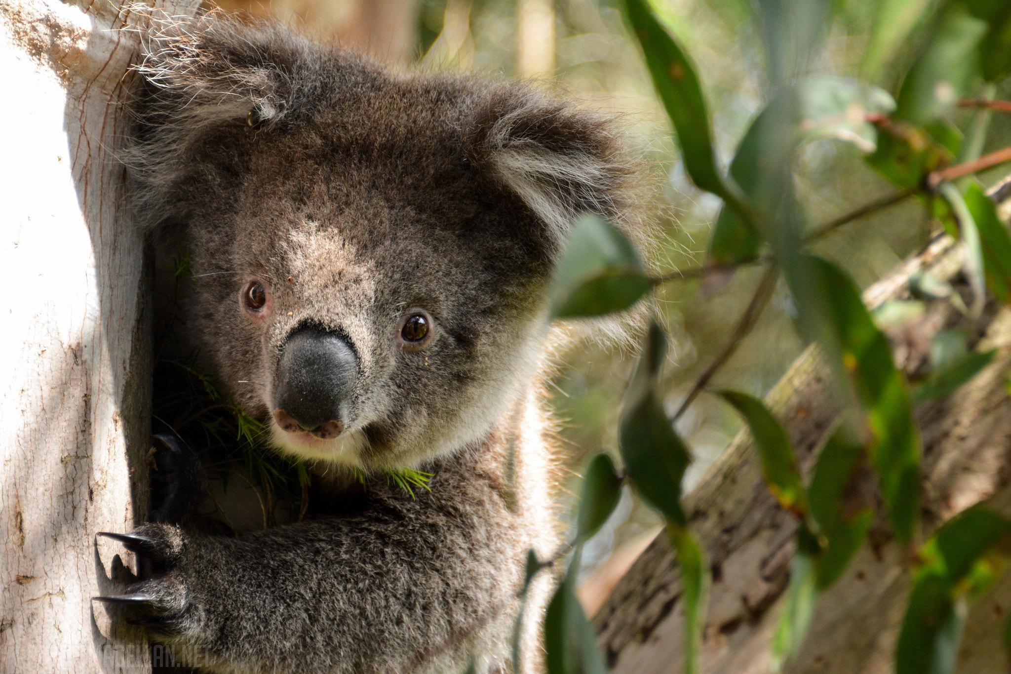 Koala, Marsupial, Melbourne, Victoria, Australia, Great Ocean Road