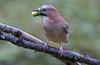 DSC_1665 Jay! by jefflack Wildlife&Nature