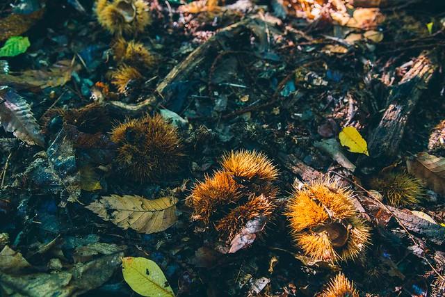 chestnut hunting-15