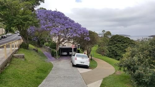 Jacaranda Tree, Balgowlah, Sydney, NSW