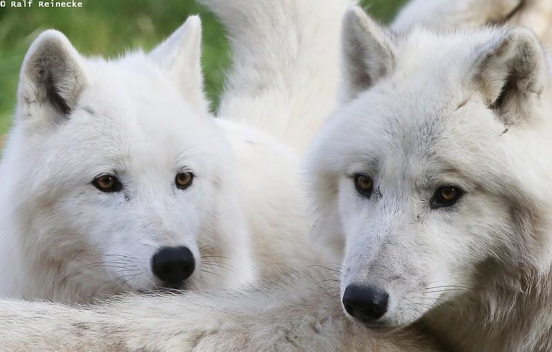 Arctic Wolf -  Parc Animalier de Sainte-Croix October 2015 21
