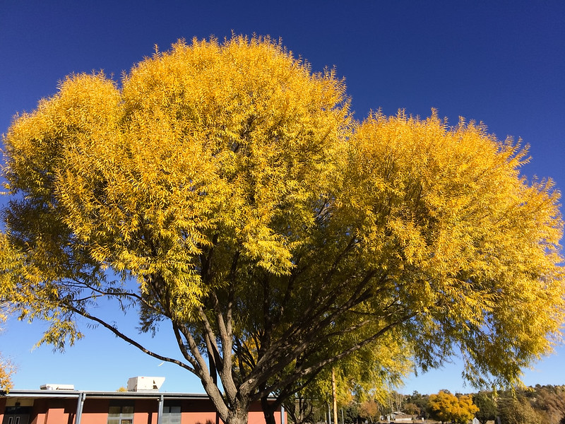 Yellow Tree Near Prescott High School