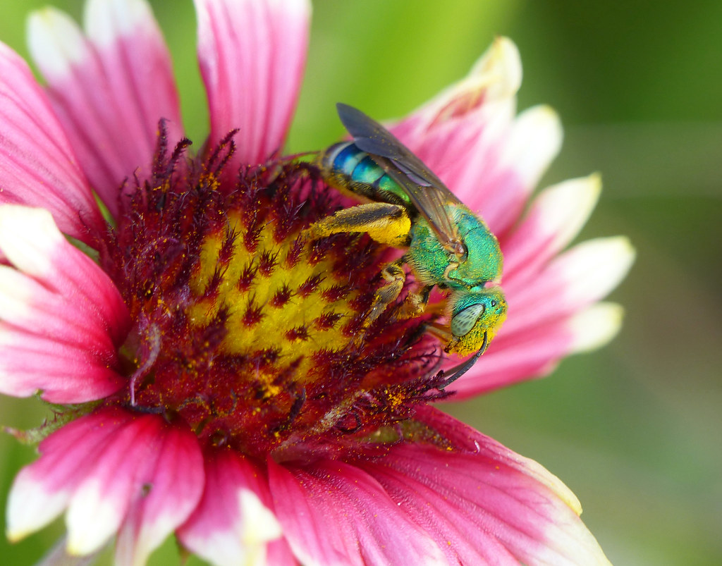 Sweat bee (Agapostemon splendens)