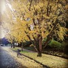 The ginkgo trees are being all sorts of awesome right now.
