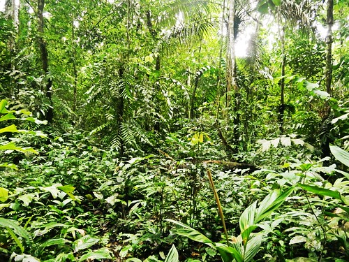 Primary forest in Madidi National Park - Amazon - Bolivia