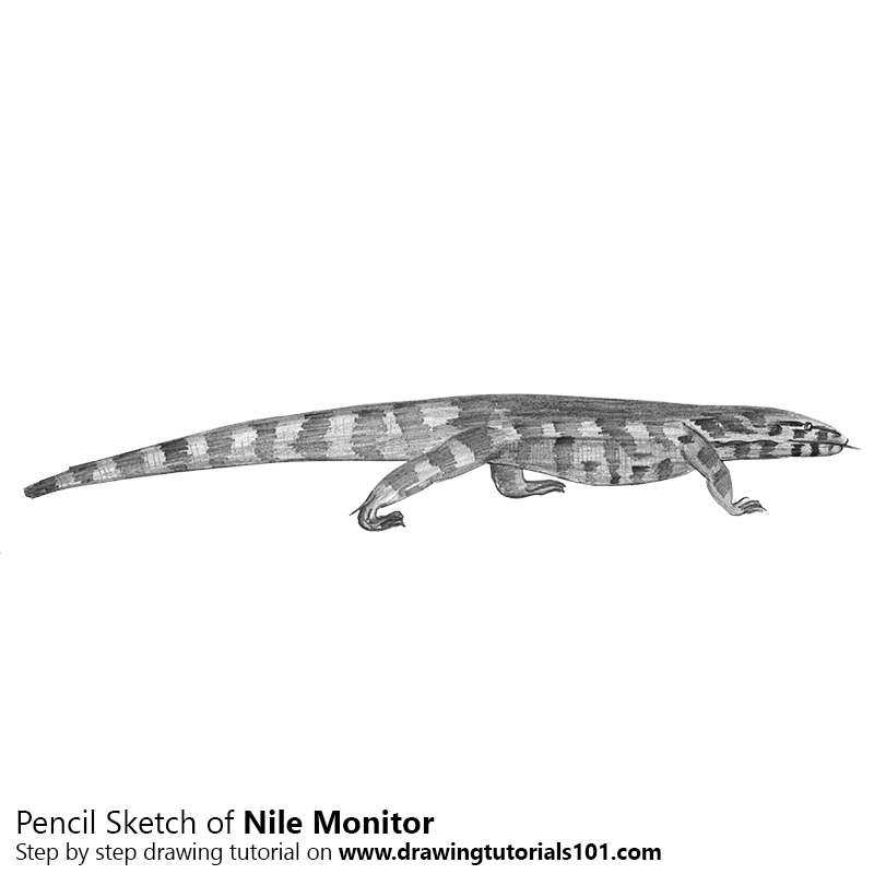Nile Monitor with Pencils