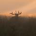Red Deer- Cervus elaphus.
