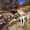 Grace immersa nel suo ambiente :heart_eyes: #clc #canelupocecoslovacco #lupocecoslovacco #pontedilegno #canè #valdicanè #stelvio #parconazionaledellostelvio #cuoricino #wolf #dog #autumn #autunno #coloricaldi