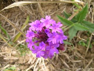 Verbena rigida flowerhead7
