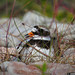20150704_07 Common ringed plover (Charadrius hiaticula)? | Ekstakusten, Gotland, Sweden by ratexla