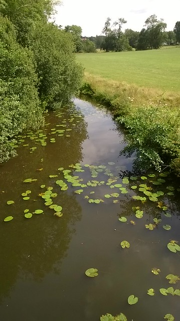 Lily pads in The Medway