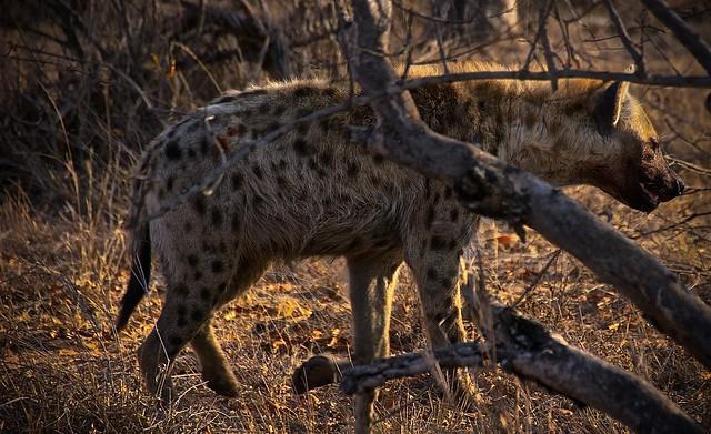 Hyenas in Balule Game Reserve