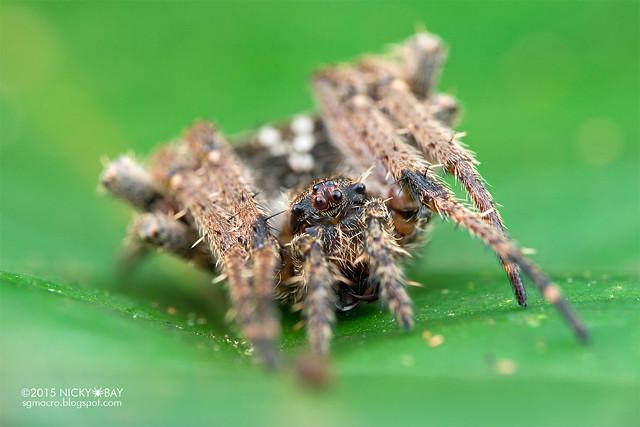 Orb weaver spider (Parawixia sp.) - DSC_4191