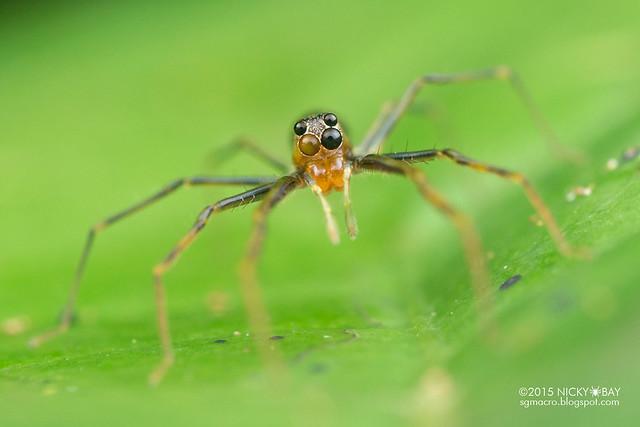 Jumping spider (Lyssomanes sp.) - DSC_4143
