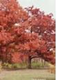 White Oak in Fall