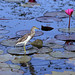 Chinese Pond Heron / Thale Noi Waterfowl Park / Phatthalung / Thailand by I Prahin   www.southeastasia-images.com