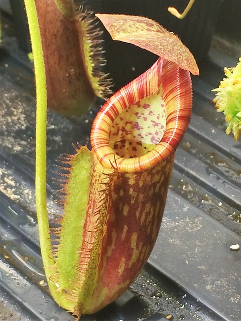 Nepenthes eymae x trusmadiensis