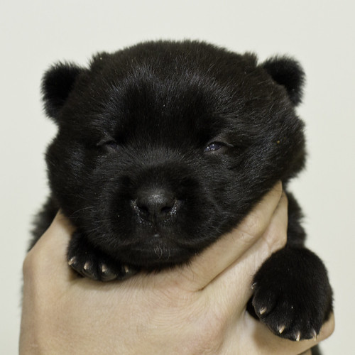 Nori-Litter3-Day17-Pup1(female)a