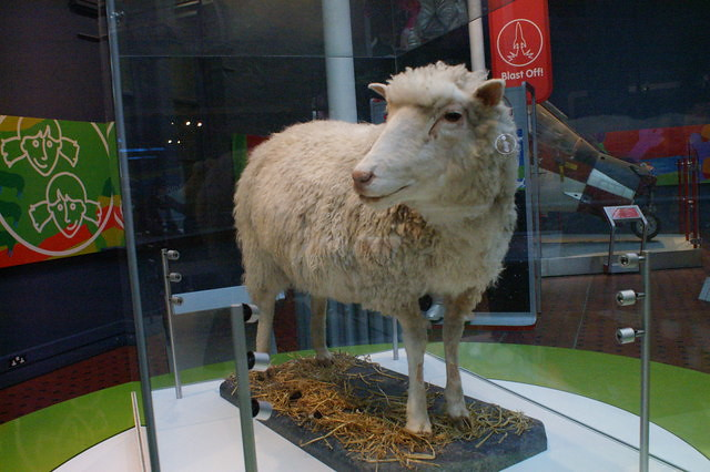 Stuffed exhibit of Dolly the sheep in the National Museums of Scotland