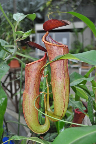 Nepenthes 'Indolent Koto'