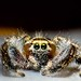 Jumping Spider by RED_THUNDER_BIRD
