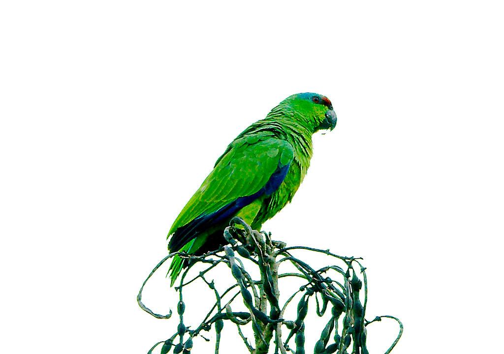 Parrot_29
