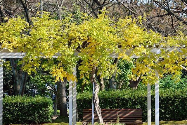 秋の藤棚 Japanese wisteria