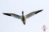 Lesser Snow Geese (Chen caerulescens), in Flight