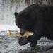 Fishing Bear by fascinationwildlife