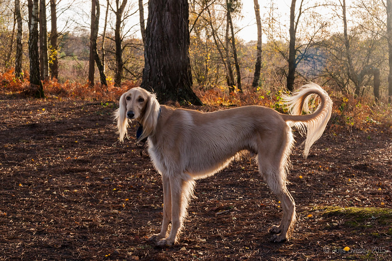 Backlit Saluki