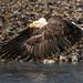 Bald Eagle-4115 by Geoffrey Shuen Photography