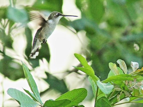 Ruby-throated Hummingbird 20151105