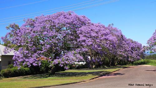 purple australia nsw jacaranda purpleflowers bignoniaceae jacarandamimosifolia kempsey midnorthcoast 131120 purplefloweringtrees purplefp cnrwideandriverstreets