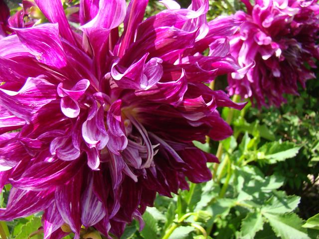 DAHLIA a fleurs geantes., Sony DSC-H9