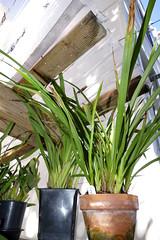 Cymbidium erythraeum species orchid 9-16